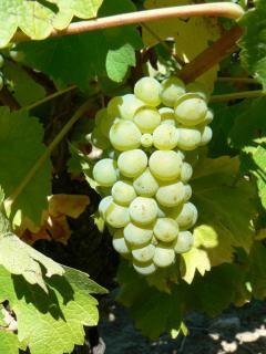grappe-sauvignon-02092013.jpg
